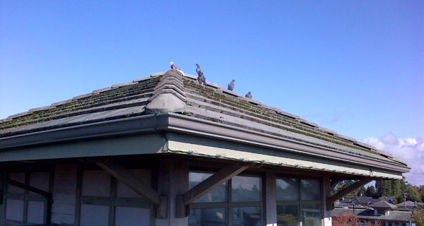 Birds-making-a-mess-on-the-roof